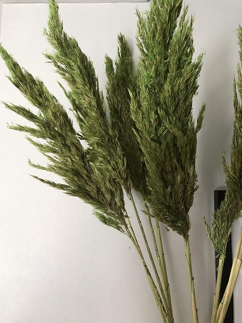 Green Pampas Grass - Bunch of 5
