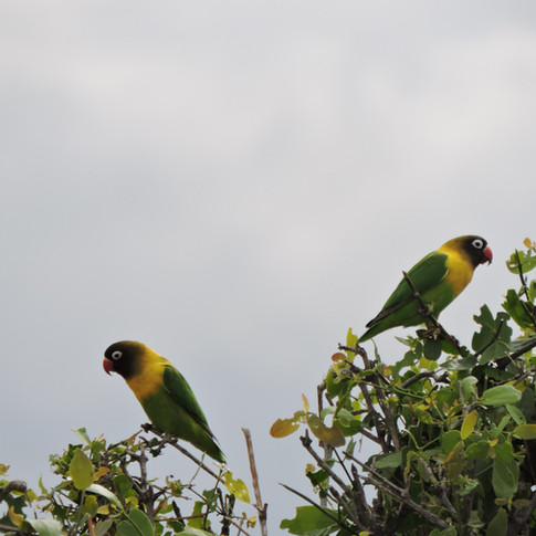 Lovebirds in Lake Manyara