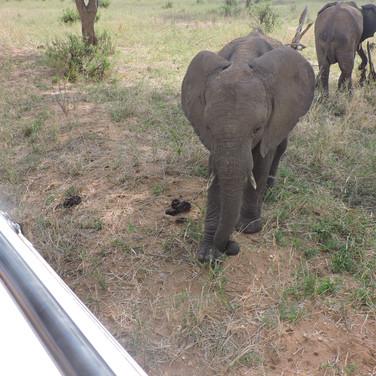 Elephants in Tarangire