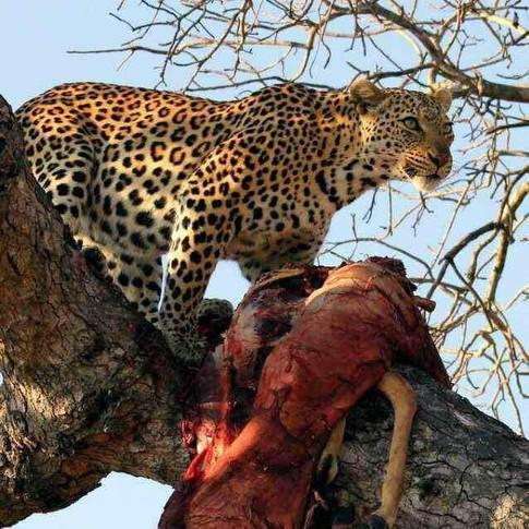 Leopard in Tarangire