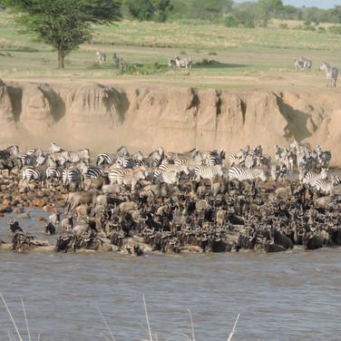 Migration of wildebeests