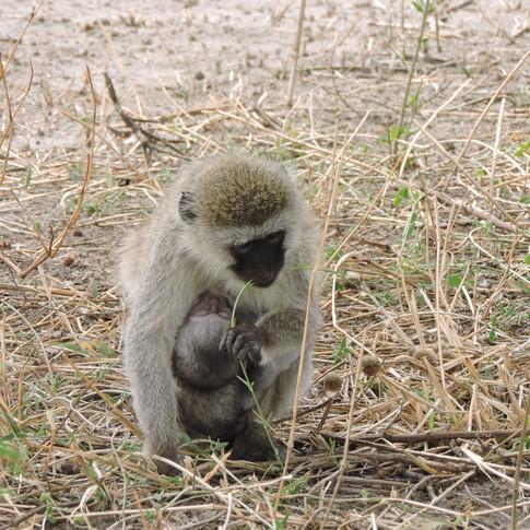 Velvet monkey with baby