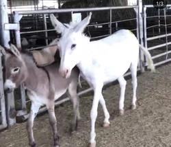 Baby Donkey (before)