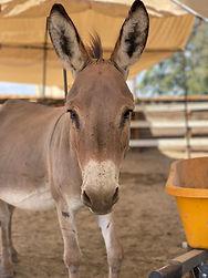 velvet mini donkey.jpeg