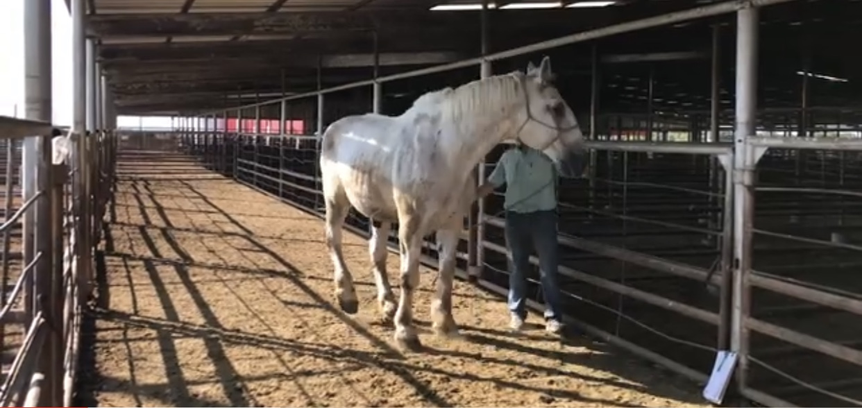 white percheron