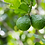 Thumbnail: Bergamot (bergapten-free) 100% Pure Essential Oil