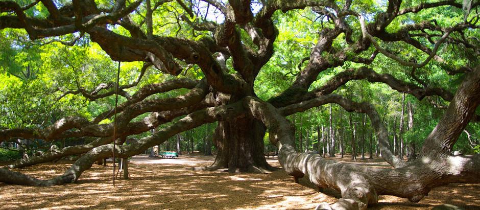 1,500-year-old Angel Roble (Oak Tree)