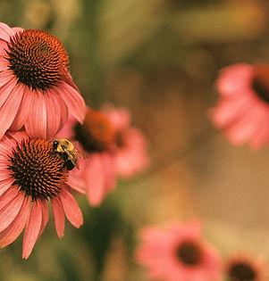 Echinacea Coneflowers_edited.jpg
