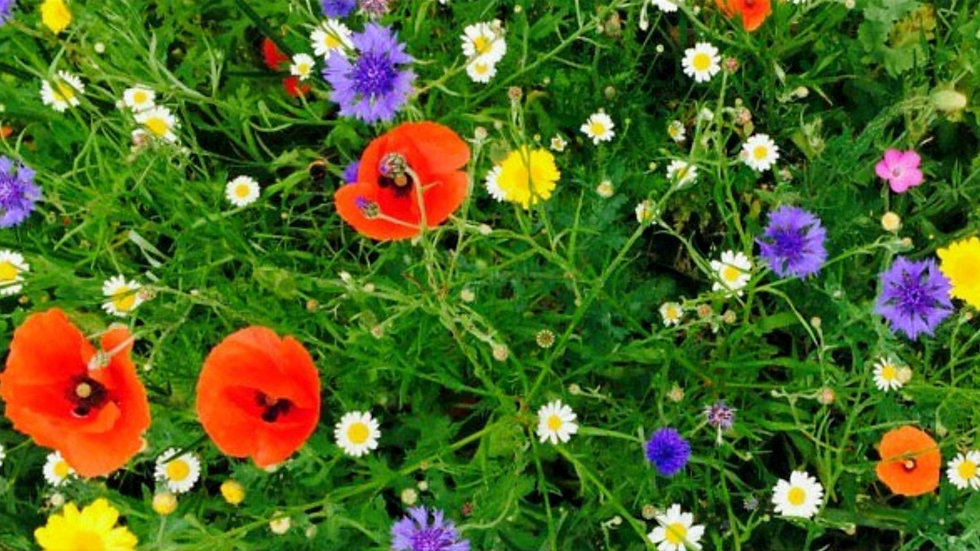 Annual meadow mix