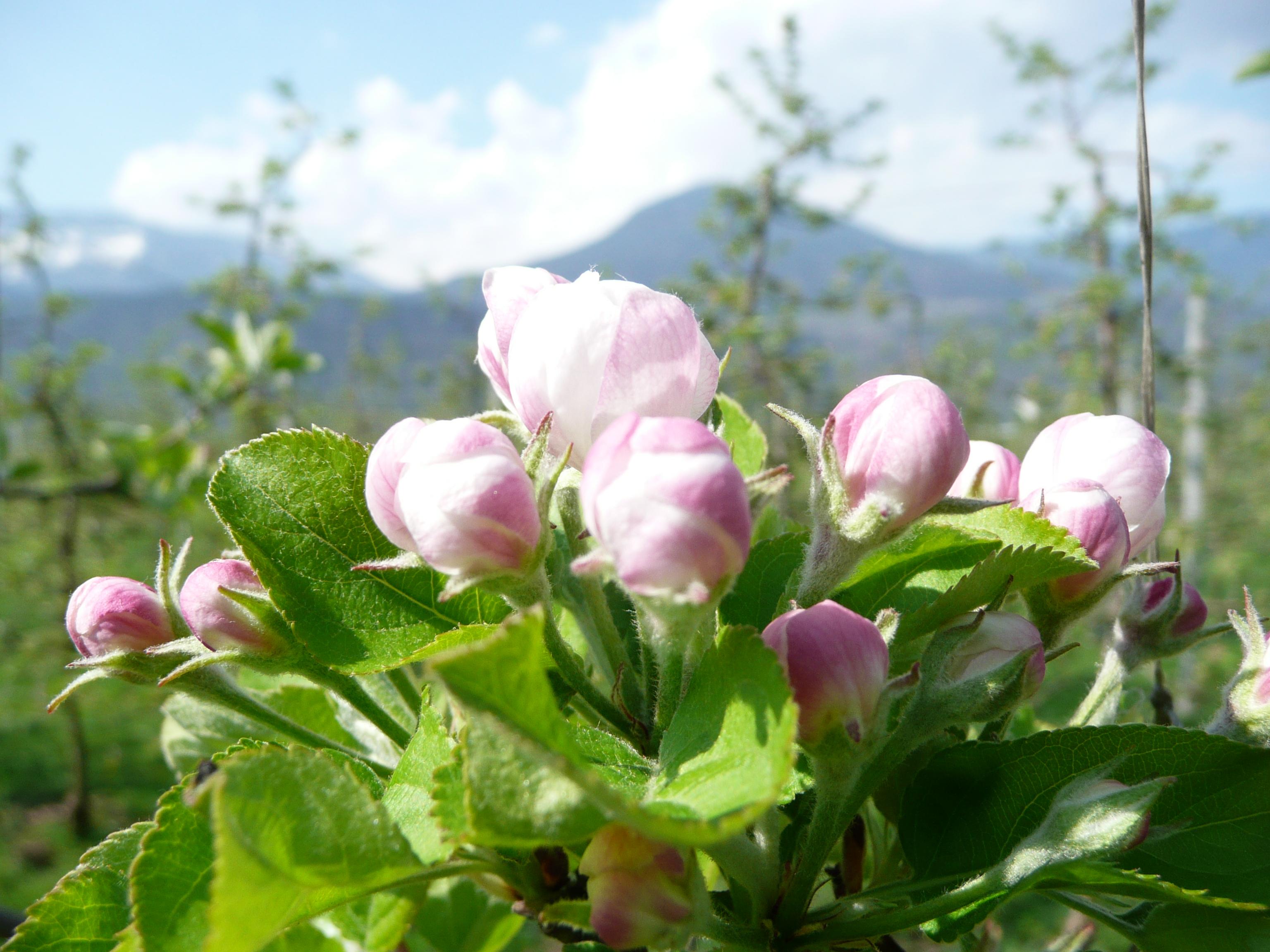 Apfelblüte.JPG