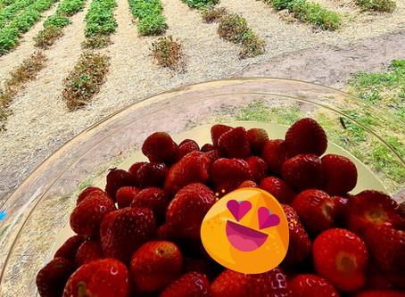 Erdbeerfeld Silz weiterhin geöffnet
