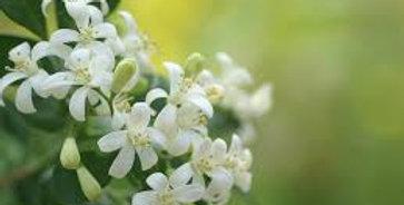 White Blossom Sweet Clover
