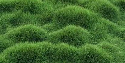 Panda Zoysiagrass