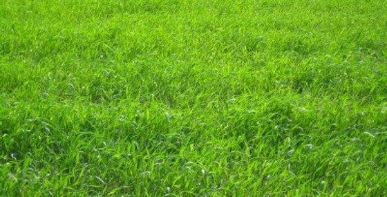 Lynn Perennial Ryegrass
