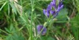 Common VNS Alfalfa