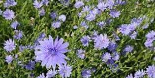 Chicory per lb