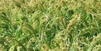 Proso White Millet
