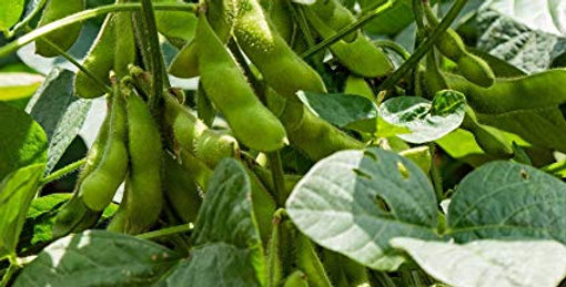 Stoddard Soybeans 50lb