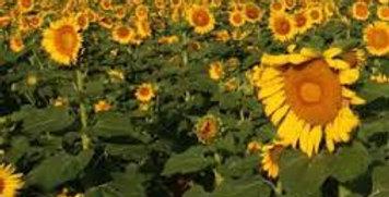 Peredovak Sunflower