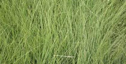 Bison Buffalograss