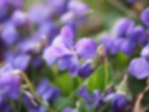 scented-violets-1077143_960_720.jpg