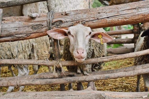 Goat, Nazareth Village