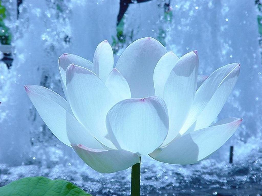fond-ecran-fleur-blanche