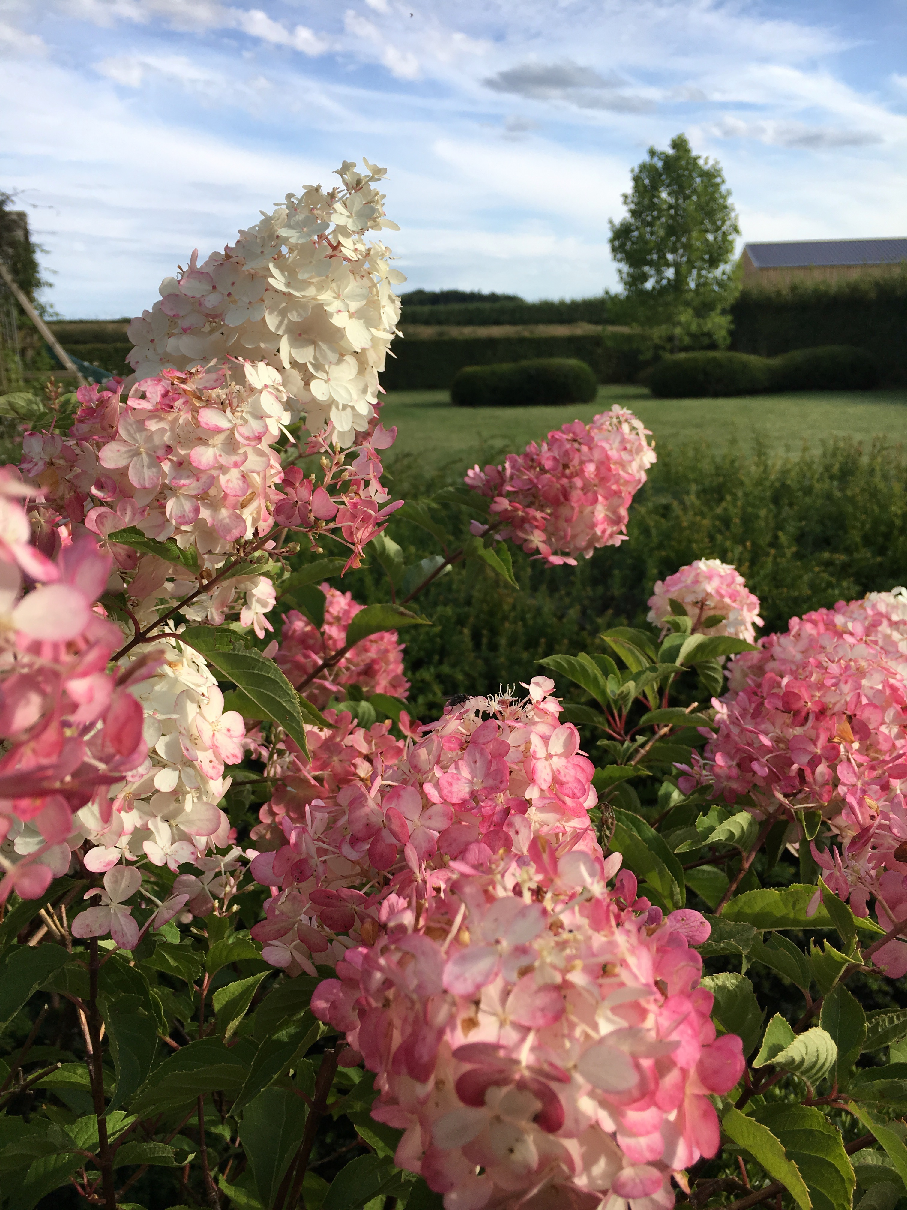 Hydran paniculata vanille fraise