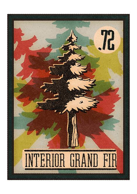 no.72 Interior Grand Fir- A4 Print
