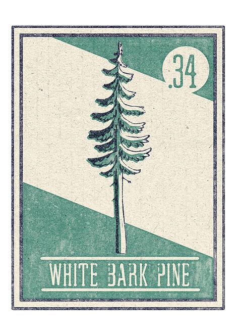 no.34 White Bark Pine - A4 Print
