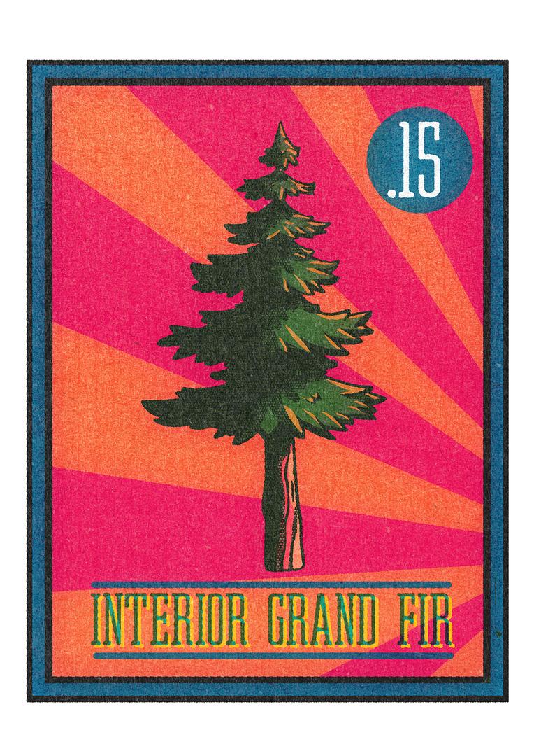 no.15 Interior Grand Fir.png