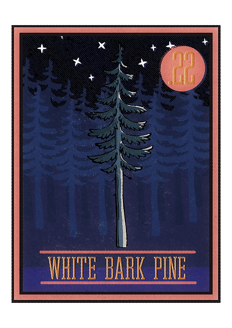no.22 White Bark Pine - Postcard