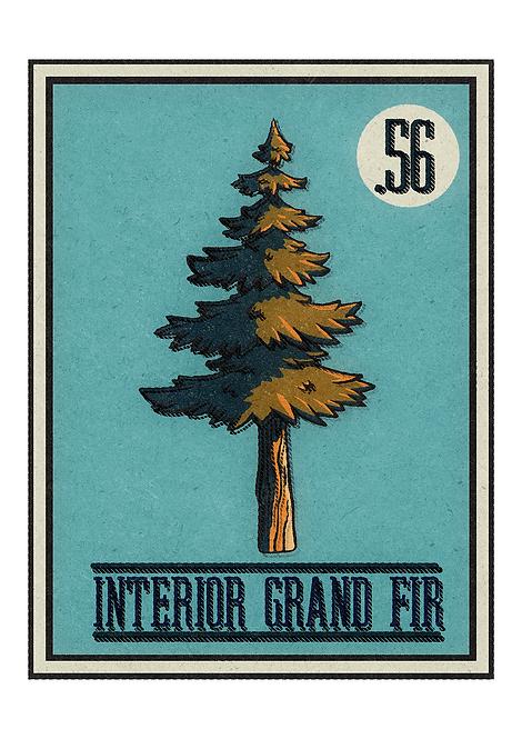 no.56 Interior Grand Fir- Postcard