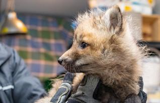 Young fox cub