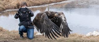 An immature bald eagle.