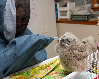 A baby owl being hand fed