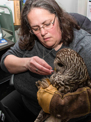 A barred owl being hand fed