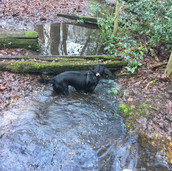 Spaniel Dog Walker