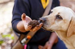 Australian Truffle Traders Truffle Kerfuffle Manjimup Truffle