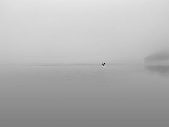 Heron in flight - photographic print