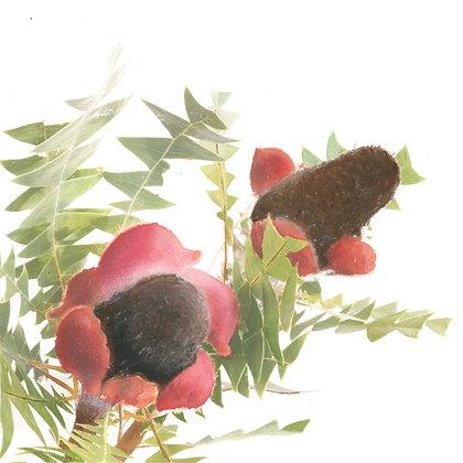 Banskia Baxteri Nut - fine art print