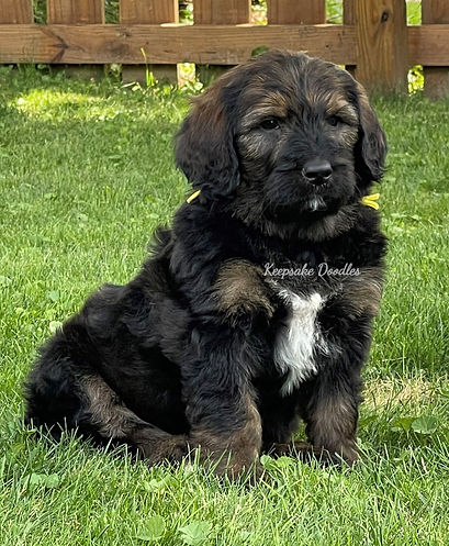 F1 Bernedoodle Puppy