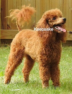 Miiniature Poodle AKC Red