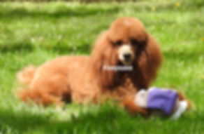 UKC Miniature Poodle Red Abstract