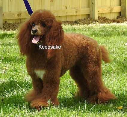 Miniature Poodle UKC Red Abstract