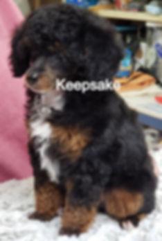 Toy Poodle AKC Black Phantom Abstract Tri