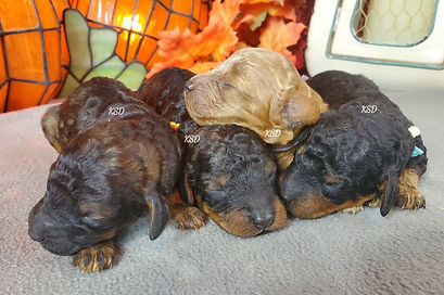 AKC Miniature Poodle Puppies Apricot, Sable & Phantom