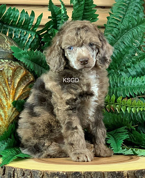 AKC Miniature Poodle Chocolate Merle