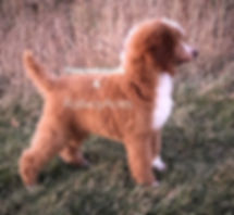 Standard Poodle AKC Red Abstract