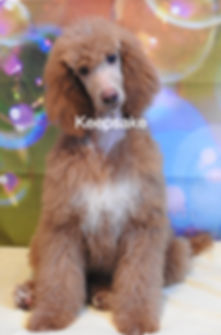 Standard Poodle AKC Apricot Abstract
